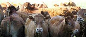 vache-brézins
